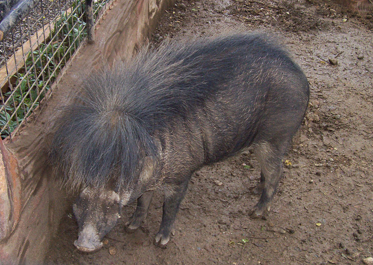 A Philippine warty hog (Sus philippensis). Image by Lsj via Wikimedia Commons (CC BY-SA 3.0).