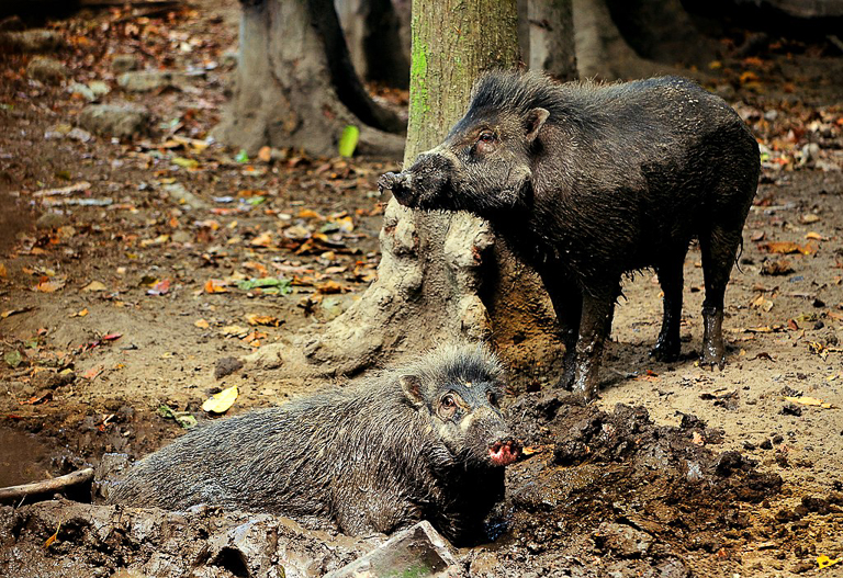 Visayan warty pigs (Sus cebifrons) at a wallow in the Philippines. Image by Shukran888 via Wikimedia Commons (CC BY-SA 4.0).