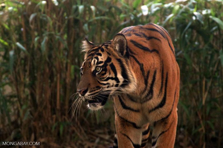 A Sumatran tiger in Indonesia. Image by Rhett A. Butler/Mongabay.