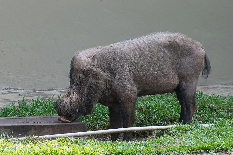 A Sunda bearded pig (Sus barbatus) in Malaysian Borneo. Image by Quinet via Wikimedia Commons (CC BY-SA 4.0).