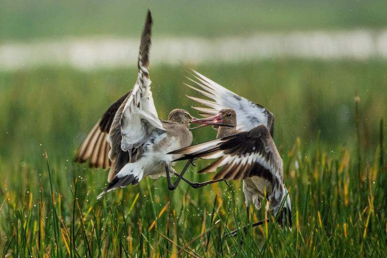 black-tailed godwits (Limosa limosa) in a fight for their territory in Mangalajodi Wetlands (Chilika - Wetland of International Importance under the Ramsar Convention), Odisha, India. By Arijit Mondal via Wikimedia Commons (CC BY-SA 4.0).