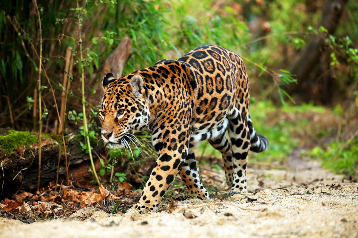 Jaguar strolling on a forest trail. Image by Mikadun via Shutterstock.