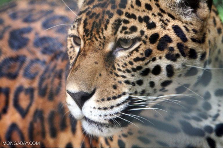 Cat corridors between protected areas is key to survival of Cerrado's jaguars
