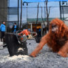 Greenpeace volunteers create a burnt smoldering rainforest with a lifelike animatronic orangutan at the headquarters of Oreo cookies near Uxbridge, UK as part of a campaign to pressure Wilmar, which is a palm oil supplier to Mondelez, which makes Oreo cookies. Photo © Chris J Ratcliffe / Greenpeace