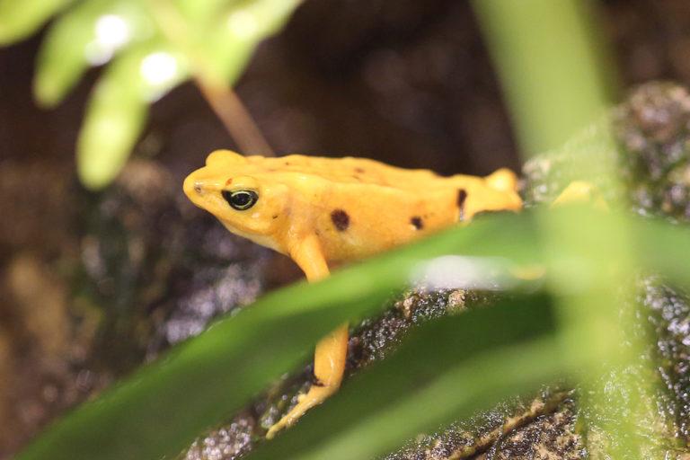 A Panamanian golden toad. Image by Rhett A. Butler/Mongabay.
