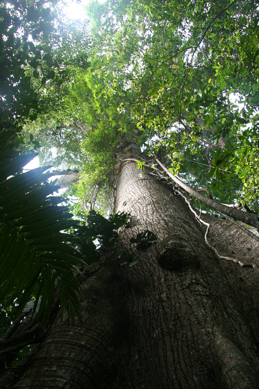 Looking up at the canopy in Panama's rainforest. Image by Rhett A. Butler/Mongabay.