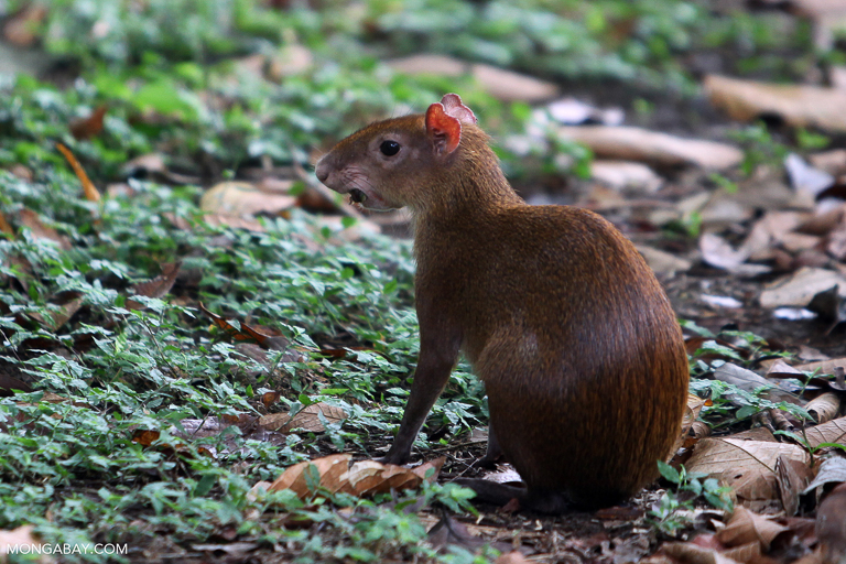 An agouti, a rodent found in Panama. Image by Rhett A. Butler/Mongabay.