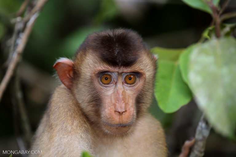 Pig-tailed macaque, a primate that prefers hilly and lowland primary forests but is also known to forage in oil palm plantations. Image by Rhett A. Butler/Mongabay.