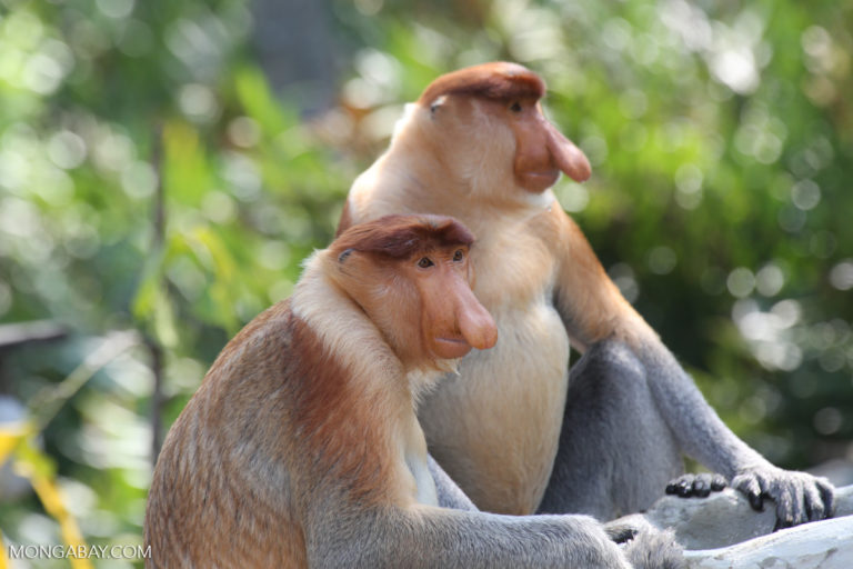 Proboscis monkeys (Nasalis larvatus) an endangered species endemic to Borneo. Image by Rhett A. Butler/Mongabay