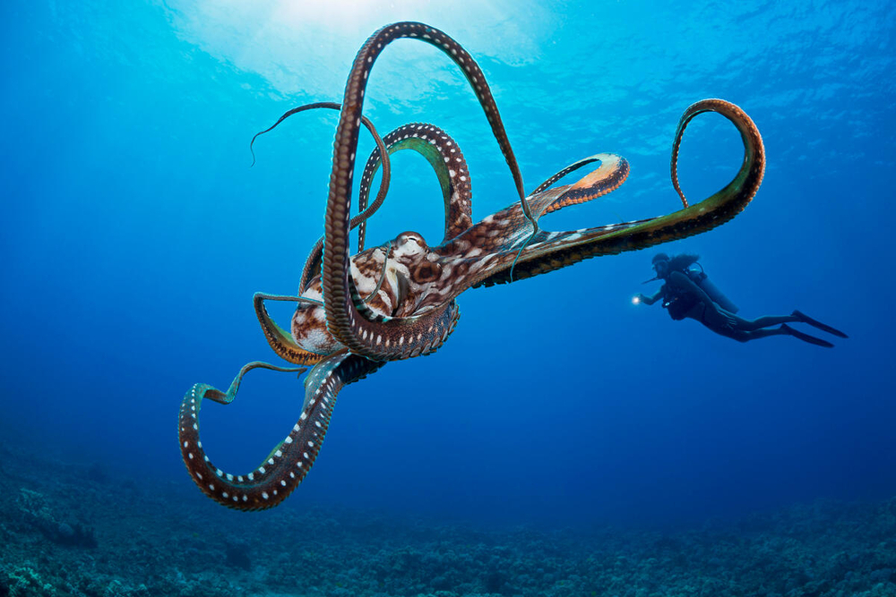 Big blue octopus (Octopus cyanea) with diver in background in waters off Hawaii. Photo credit: naturepl.com / David Fleetham / WWF