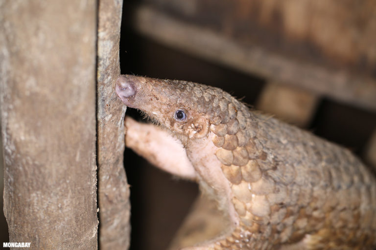 Pangolin at a rescue center in Cambodia. Image by Rhett A. Butler.