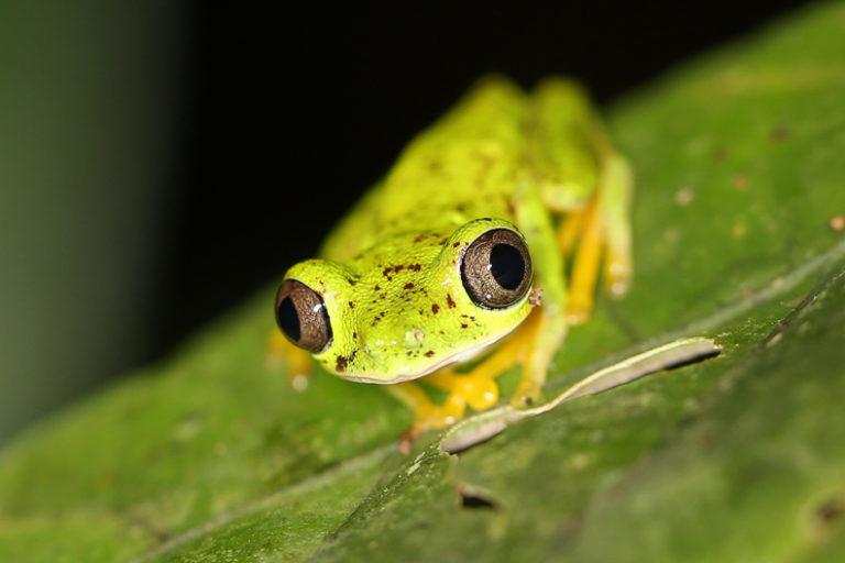 A lemur tree frog (Hylomantis lemur) in Costa Rica. Image by Rhett A. Butler/Mongabay.