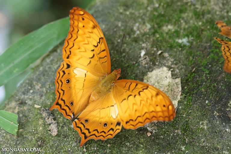 An orange butterfly in Vietnam. Scientists are tracking a bewildering decline in the world's insect populations. Image by Rhett A. Butler/Mongabay.