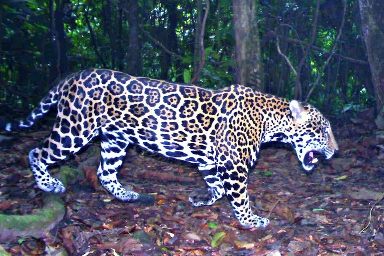 A jaguar captured by a camera trap in Honduras. Image by Panthera.