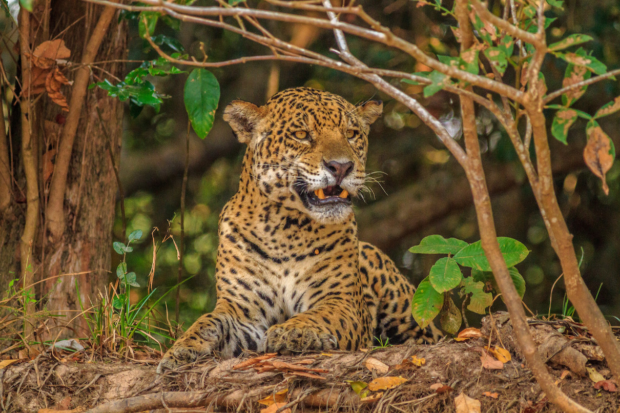 Electronic ears listen to poachers in a key Central American jaguar habitat