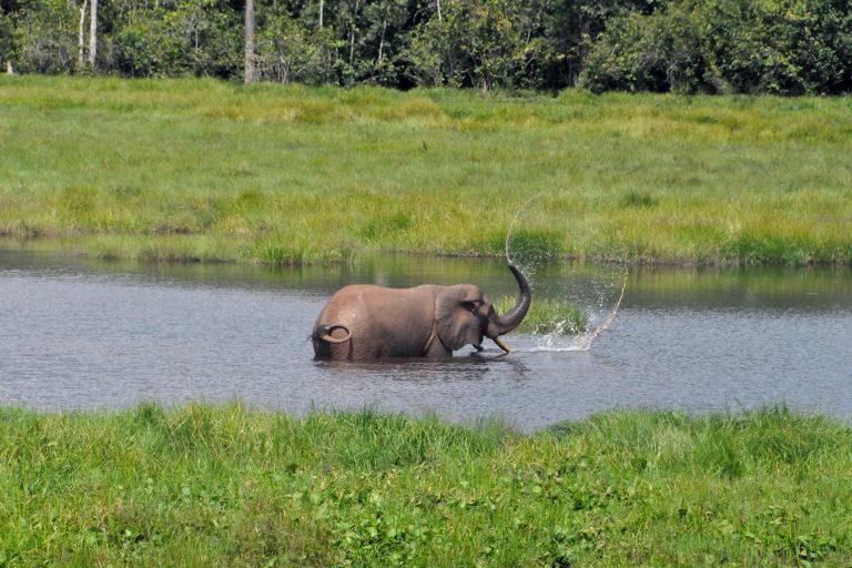 Elephant washing itself in the Congo rainforest. Photo credit: Rodger Schlickeisen.