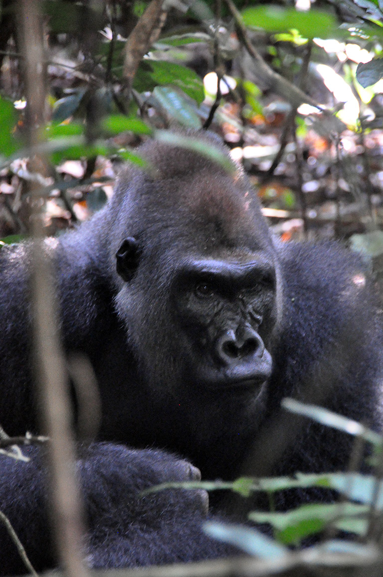Silverback gorilla in the Congo Basin forest. Photo credit: Rodger Schlickeisen.
