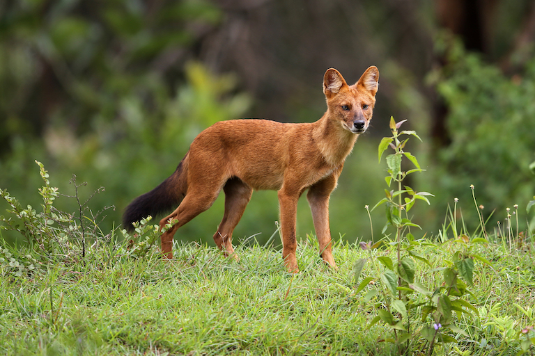 Dholes (Cuon alpinus) are wild canids that range throughout South, Central, East and Southeast Asia. They are listed as endangered, with fewer than 2,500 adults remaining in the wild. Image by Davidvraju via Wikimedia Commons (CC BY-SA 4.0).
