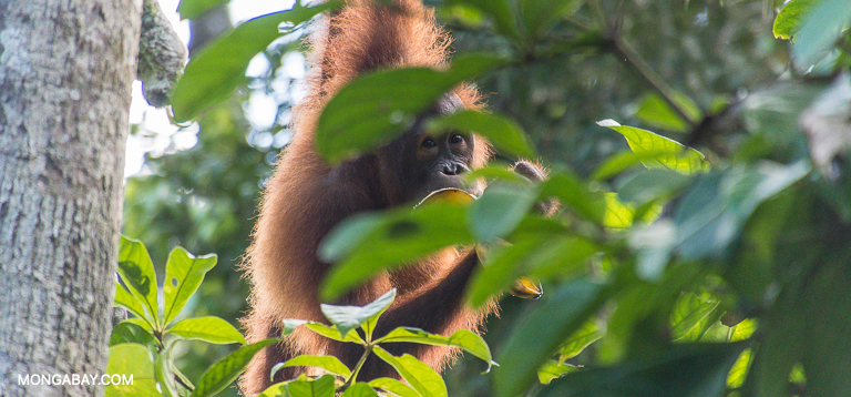 A Bornean orangutan. Image by John C. Cannon/Mongabay.