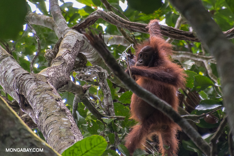 The study found that female orangutans living in or near oil palm plantations frequently had young -- a sign that they were adapting to the altered environment. Image by John C. Cannon/Mongabay.