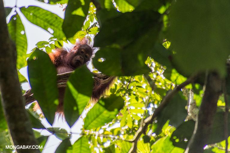 A young orangutan in Malaysian Borneo. Image by John C. Cannon/Mongabay.