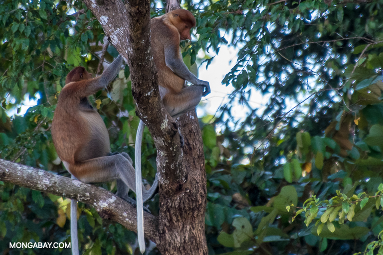 Proboscis monkeys along the Kinabatangan River in Borneo. Image by John C. Cannon/Mongabay.