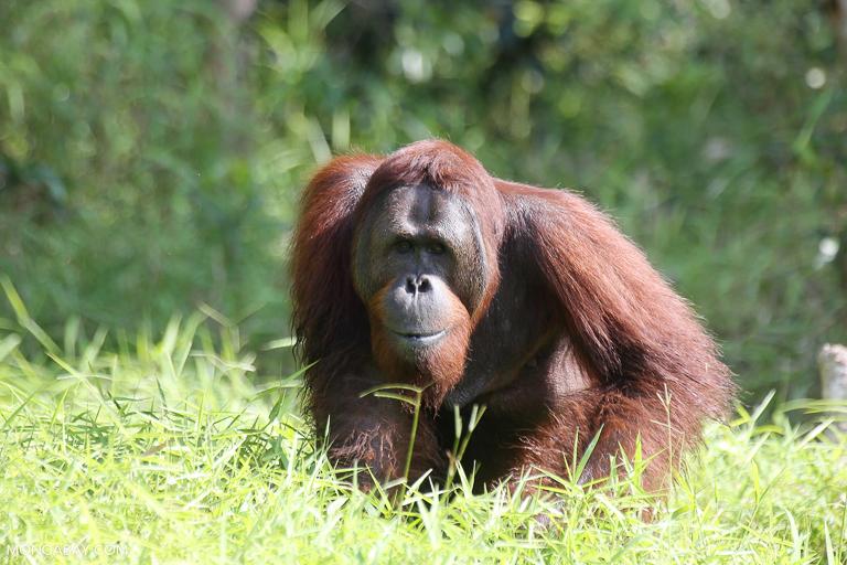 A male orangutan in Indonesian Borneo. Image by Rhett A. Butler/Mongabay.