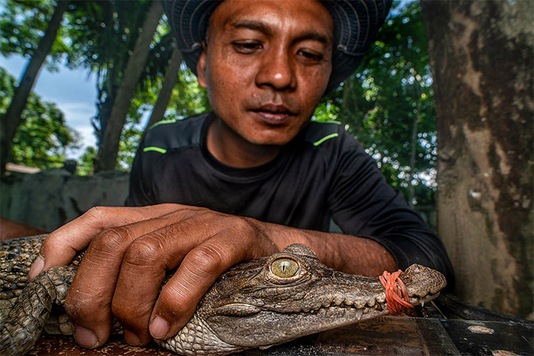 A Critically endangered Philippine crocodile is given a health check as part of Mabuwaya Foundation's 'head starting' programme. Image © Chris Scarffe/Synchronicity Earth