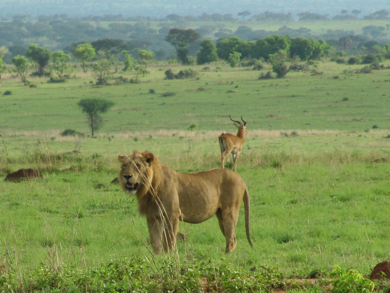 A lion (Panthera leo) and Ugandan kob (Kobus kob thomasi) in Murchison Falls National Park. Image by Daryona via Wikimedia Commons (CC BY-SA 3.0).