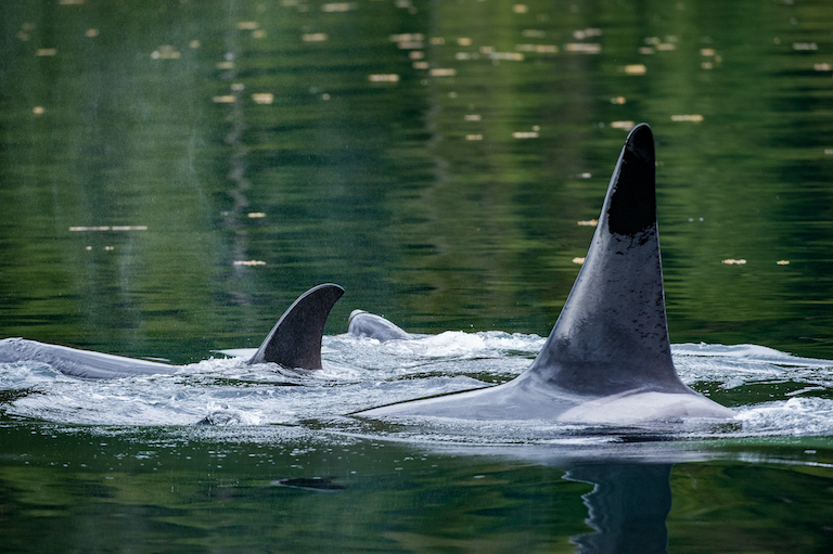 Resident killer whales in the Pacific Northwest. Photo by Ian McAllister / Pacific Wild.