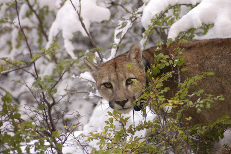 The Rewilding Team at Tompkins Conservation Chile has been monitoring pumas since 2008 in Patagonia National Park. Photo © Cristian Saucedo