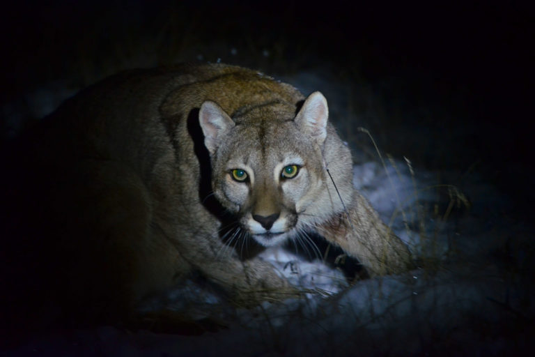 The Rewilding Team at Tompkins Conservation Chile has been monitoring pumas since 2008 in Patagonia National Park. This work is improving the understanding of the top predator in the Patagonian ecosystem. Pumas control populations of herbivores, such as the guanaco, and provide carrion that feeds foxes, condors, hawks, and other species. Photo © Joares May