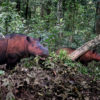 Sumatran rhinos in Indonesia. Photo credit: Rhett A. Butler