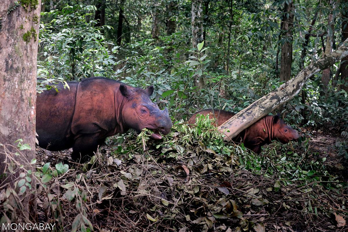 Sumatran rhinos in Indonesia. Photo credit: Rhett A. Butler
