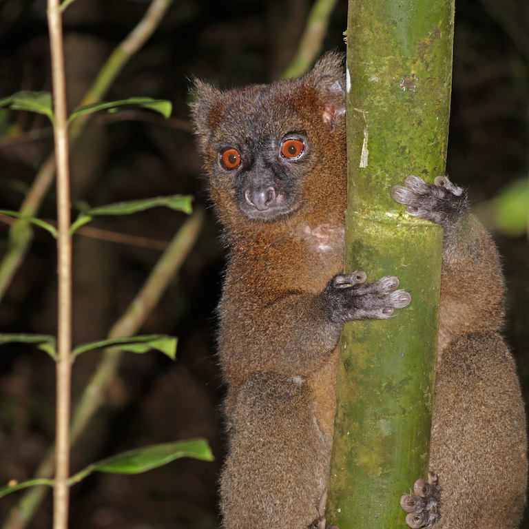 Greater bamboo lemur (Prolemur simus). Image by Charles J. Sharp via Wikimedia Commons (CC BY-SA 4.0).