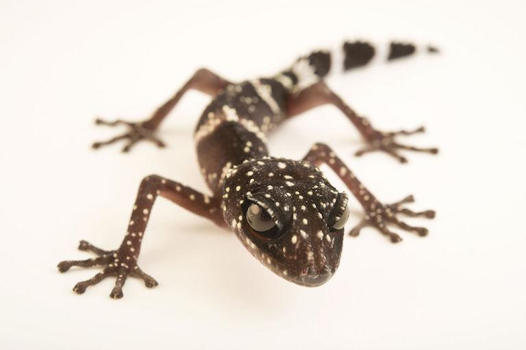 The masobe gecko (Paroedura masobe) is endangered. Image by Jaine via Wikimedia Commons (CC BY-SA 4.0).