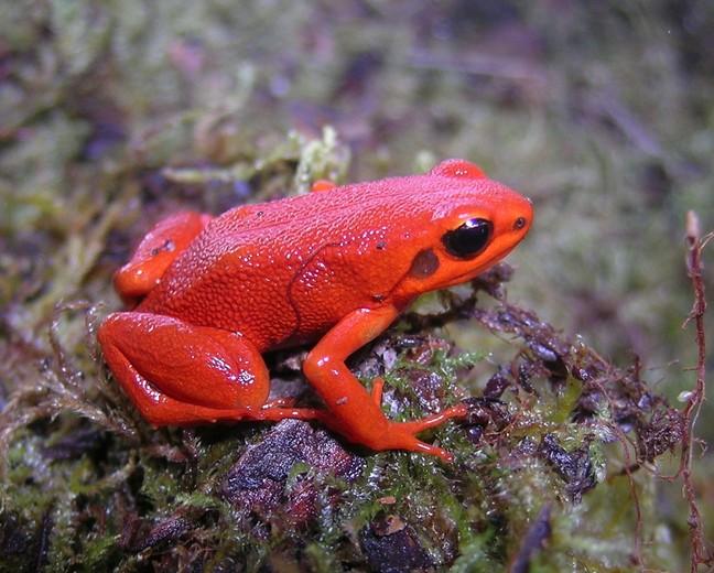 The black-eared mantella frog (Mantella milotympanum) is critically endangered. Its main threat is habitat loss. Image by Franco Andreone via Wikimedia Commons (CC BY-SA 2.5).