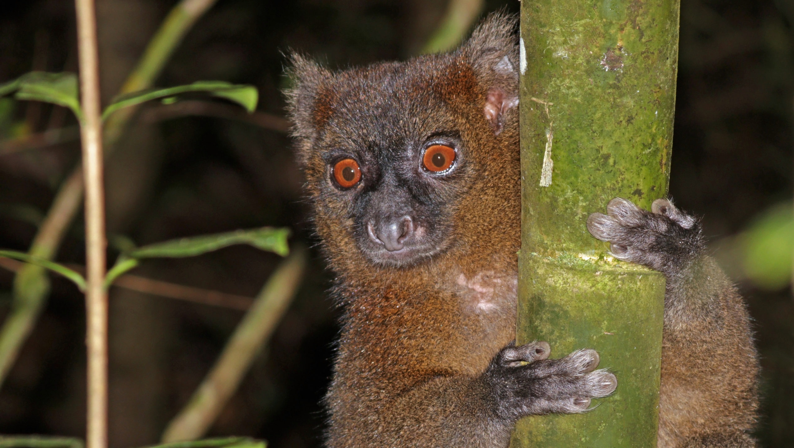 Slash-and-burn farming eats away at a Madagascar haven for endangered lemurs, frogs