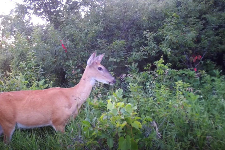 How fast does a white-tailed deer run? Candid Animal Cam spots fawns | South Africa Today