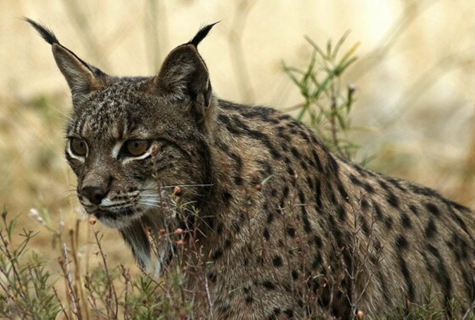 Iberian lynx in Spain. Image by www.lynxexsitu.es via Wikimedia Commons (CC BY 3.0 ES).