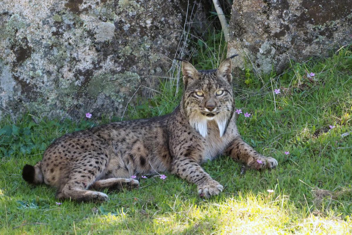 Iberian lynx in Spain. Image by Frank Vassen via Flickr (CC BY 2.0).