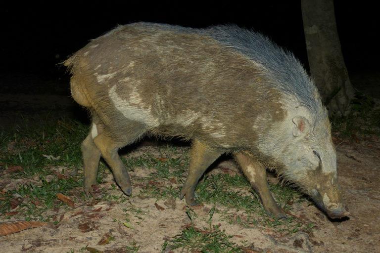 A wild pig in Peninsular Malaysia