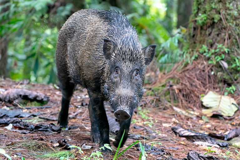 The research found that the destructiveness that wild pigs are often maligned for may actually help encourage tree diversity in forests.