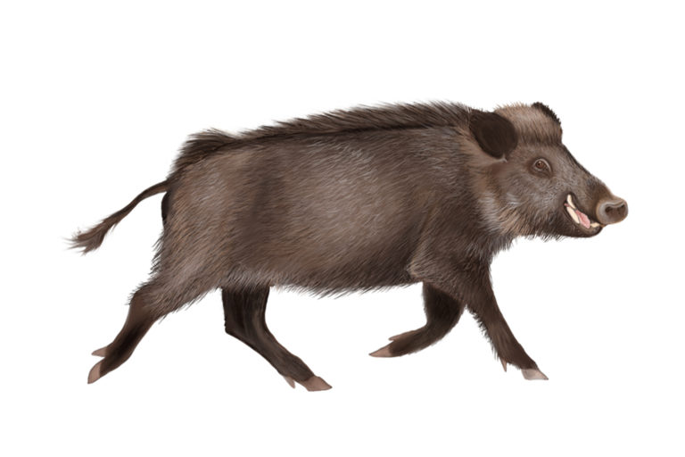An illustration of a wild pig like those found at the study site.