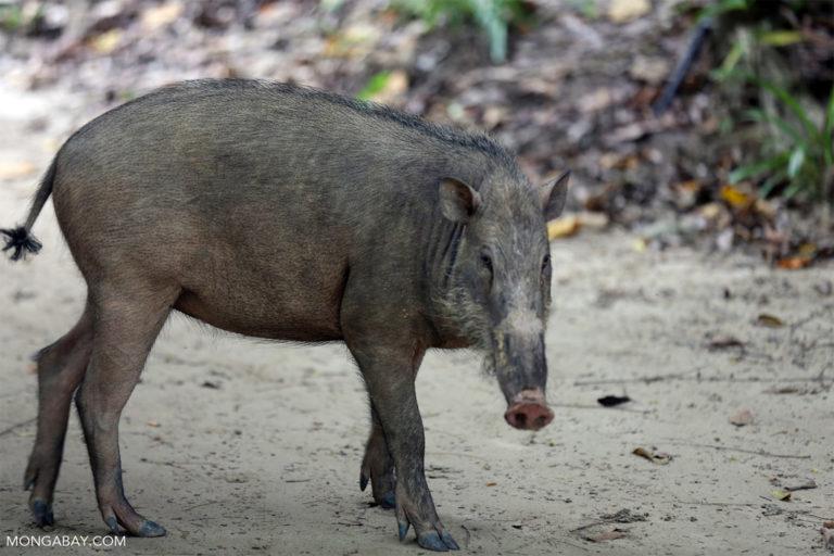 A young wild pig in Peninsular Malaysia.
