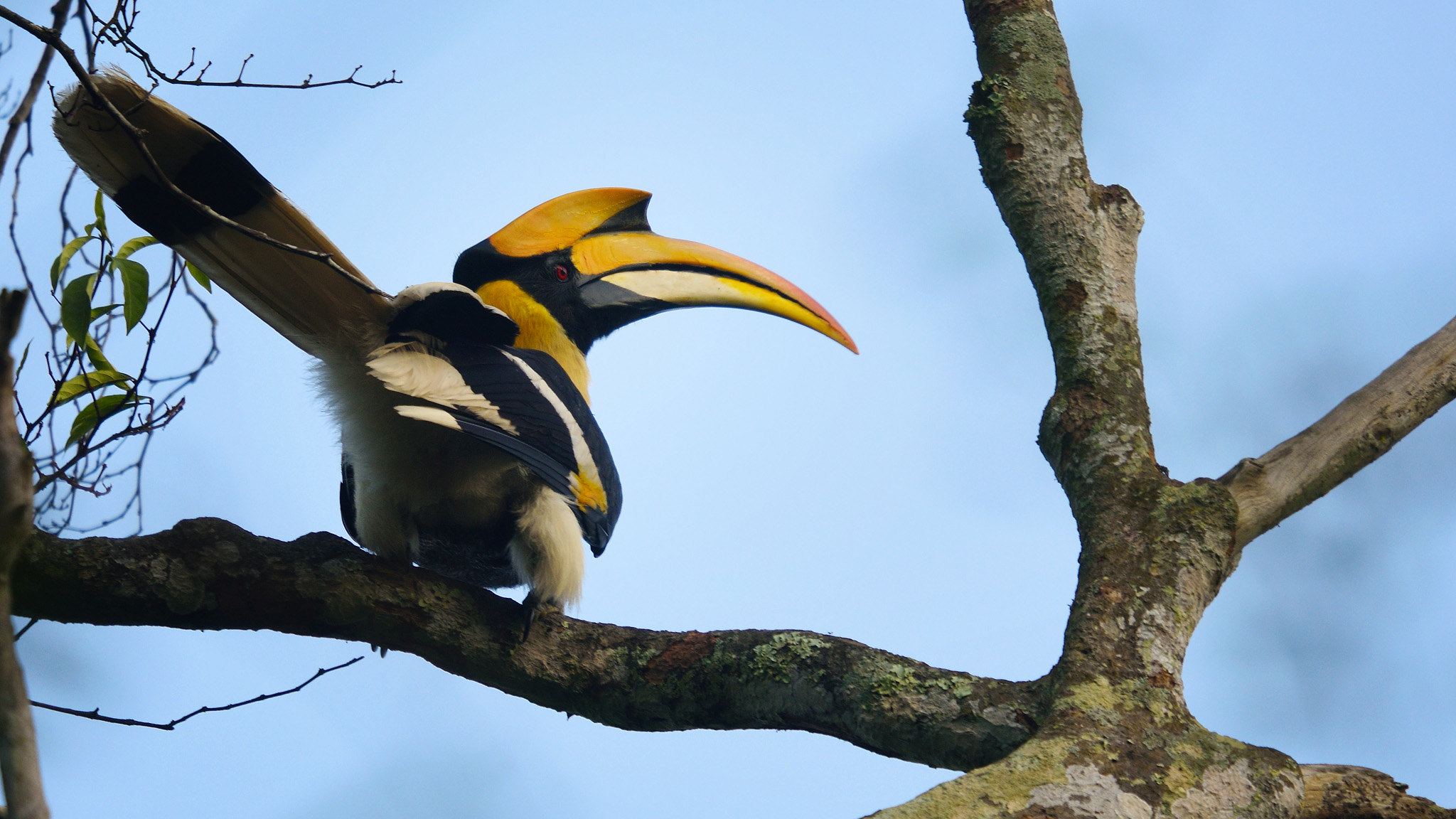 A great hornbill in Thailand's Kaeng Krachan National Park. Image by tontantravel/Flickr.