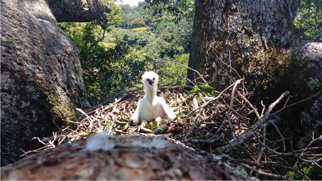 Harpy eagle chick in its nest. Image courtesy of Everton Miranda.