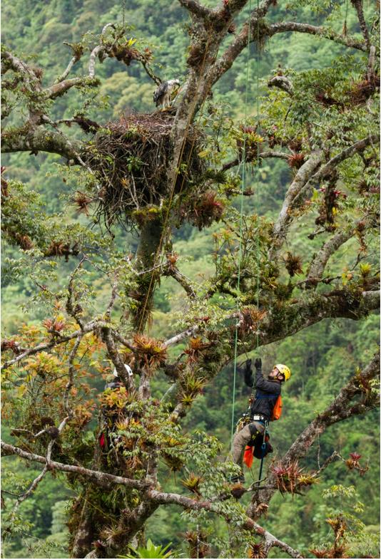 Santiago Zuluaga, who studies a range of raptors, ascending toward a nesting black-and-chestnut eagle (Spizaetus isidori). Image courtesy of Gonzalo Ignazi.