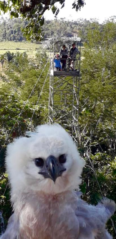 A harpy eagle chick with a tourist viewing tower in the background in Mato Grosso, Brazil. Image courtesy of Everton Miranda.