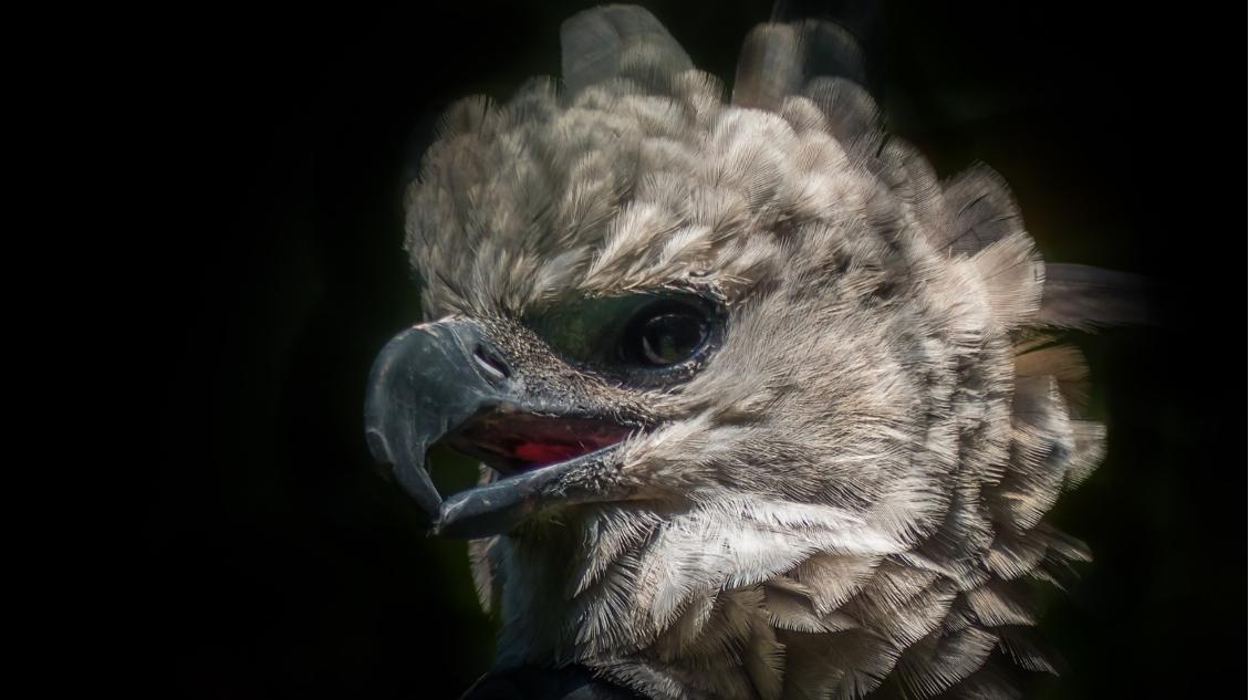 Harpy eagle. Image by R_Winkellmann via Pixabay.